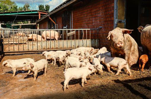 Wie tierfreundliches Schlachten funktioniert