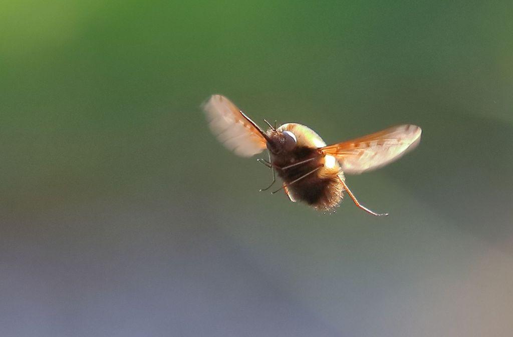Volle Power: Die zwei kleinen Flügel des Wollschwebers rotieren bis zu 300-mal pro Sekunde.Foto: Michael Eick Foto: