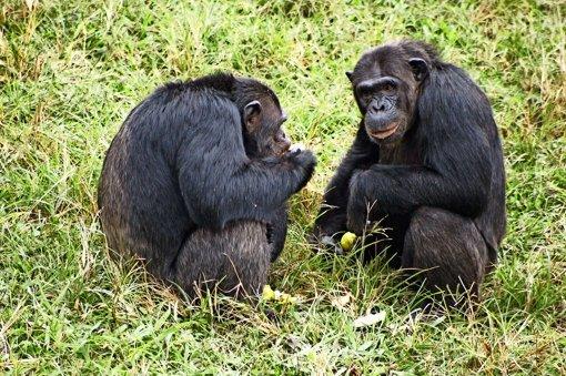 Auch Affen haben Vertrauen