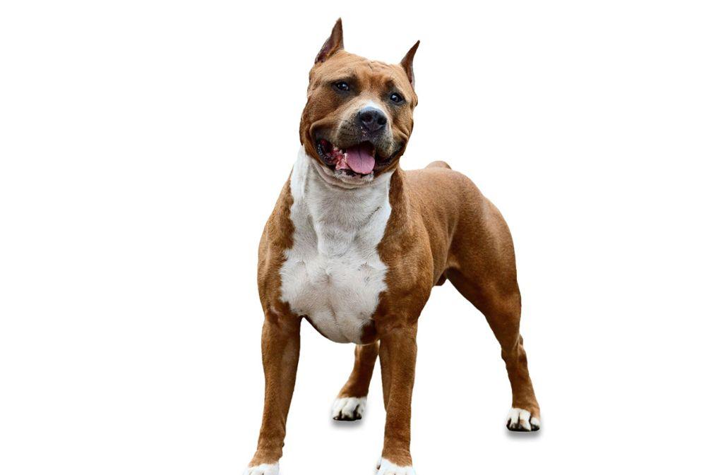 """American Staffordshire-Terrier oder Mischungen sind so genannte """"Listenhunde"""", die auch so angemeldet werden müssen. Foto: Adobe Stock/geptays/"""