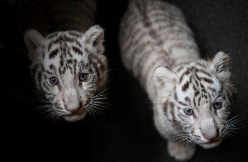 Zoo präsentiert seltene Weiße Tigerbabys