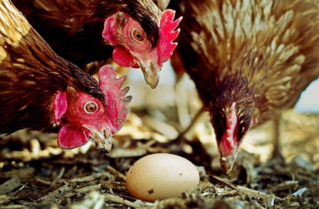 Das Zweinutzungshuhn kann mehr als Eier legen. Foto: dpa