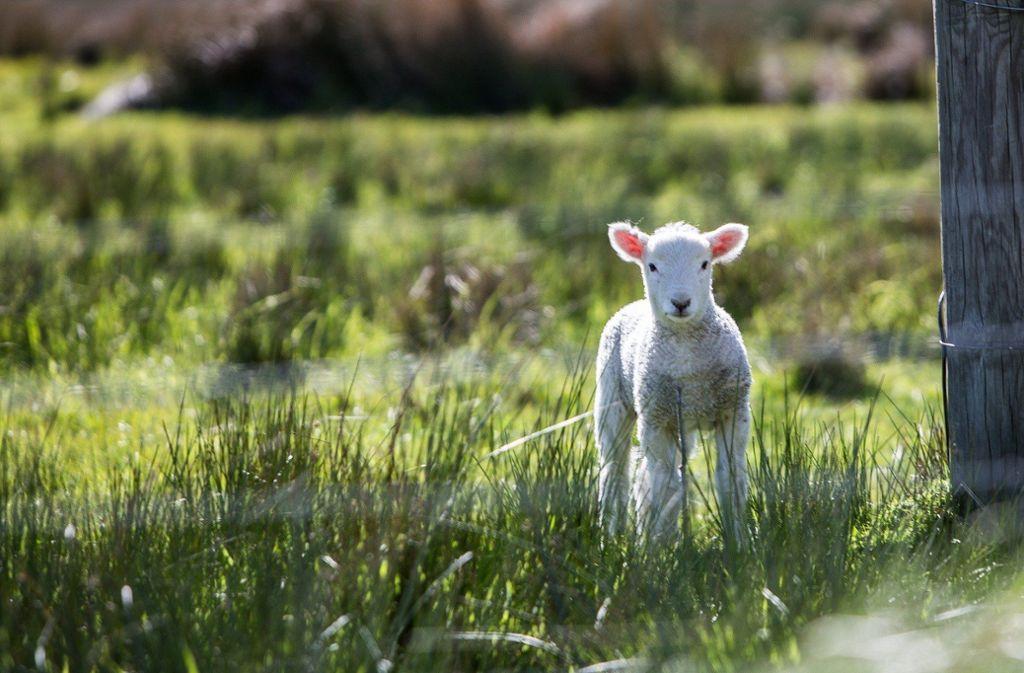 Drei Tiere wurden ausgeweidet und deren Fleisch entwendet. Das vierte Lamm ließen die Unbekannten schließlich zurück. Foto: pixabay