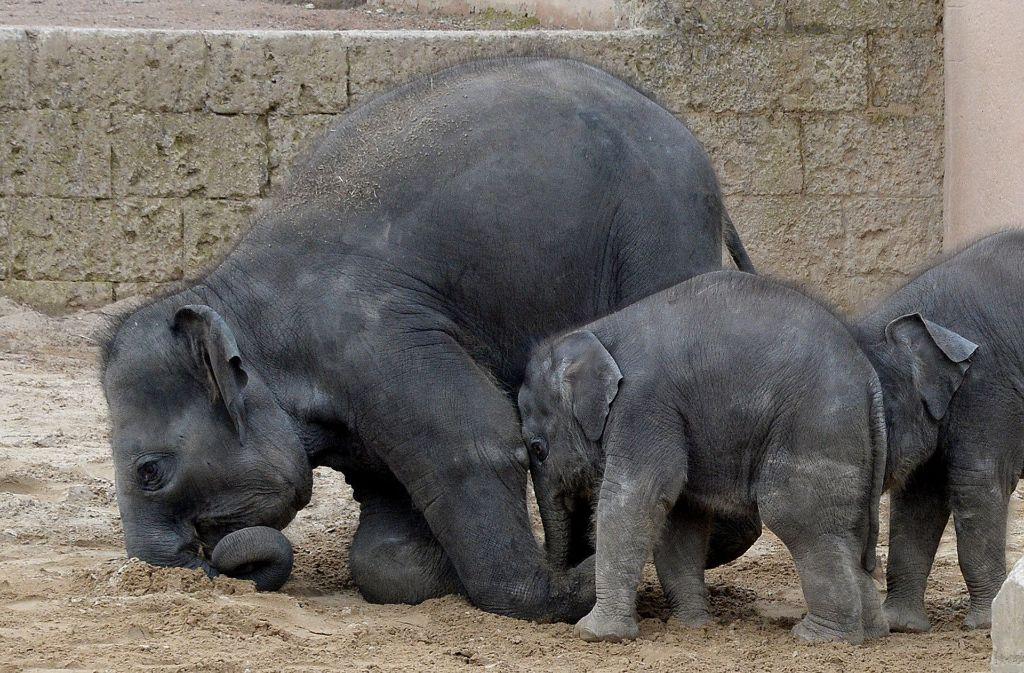 Yumi, Mäuschen und Kleine (v. l. n. r.) toben gemeinsam durch das Gehege im Zoo Hannover. Bald werden sie zu viert sein. Foto: dpa