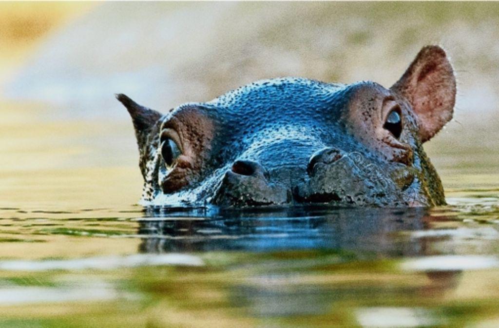 Ein stilles Tier, vor dem der Pfleger aber unbedingt Respekt haben sollte: Flusspferd auf Beobachtungsposten. Foto: dpa