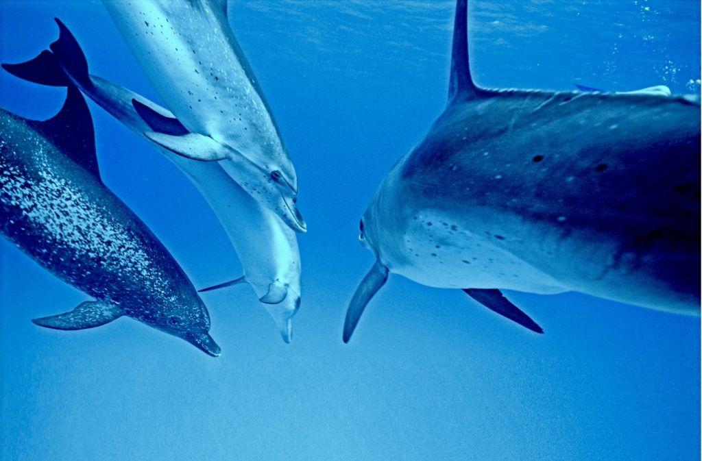 Auch der Ozean wird zur Schule des Lebens: Die Zügeldelfine nehmen sich beim Jagen sehr viel Zeit, um ihren Nachwuchs zu trainieren. Foto: