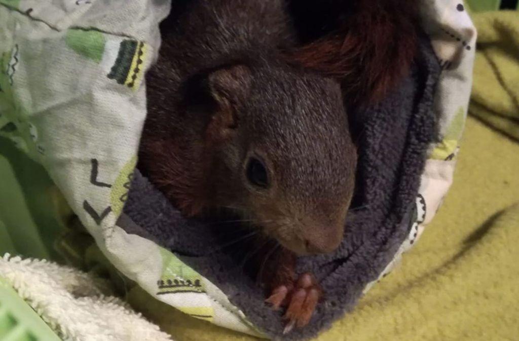 Am Wochenende wurde der Eichhörnchenhilfe das 176. Tier übergeben. Foto: Eichhörnchenhilfe Stuttgart