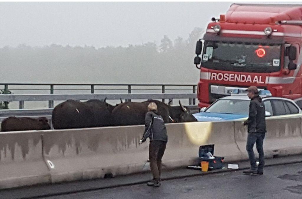 Die betäubten Wasserbüffel stehen auf der Autobahn 3 zwischen dem Dreieck Langenfeld und dem Kreuz Leverkusen in Nordrhein-Westfalen. Foto: dpa/WDR