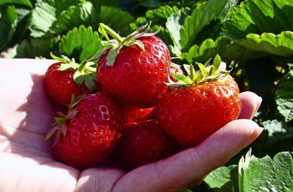 Selbst geerntet schmecken die roten Früchte gleich viel süßer. Foto: Sandra Hintermayr