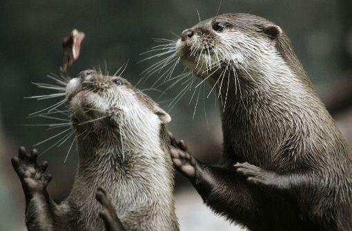 Schmetterling bringt Otter zum Tänzeln