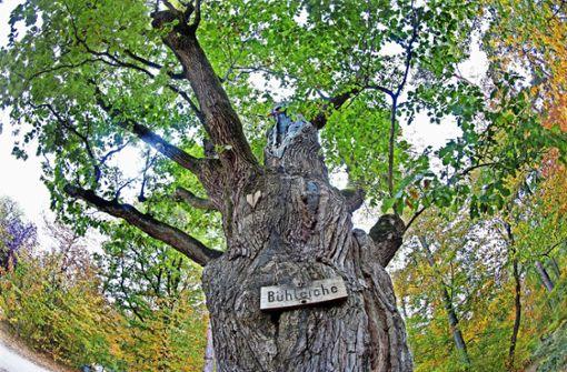 Ein  Baumveteran stirbt