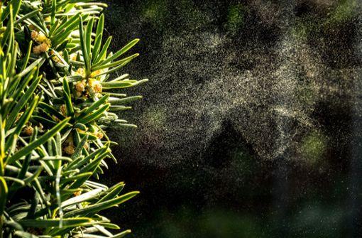 Welche Pollen fliegen aktuell? Alles zu den Blütezeiten der einzelnen Gräser- und Birkenpollen im Pollenkalender für Allergiker auf einen Blick.