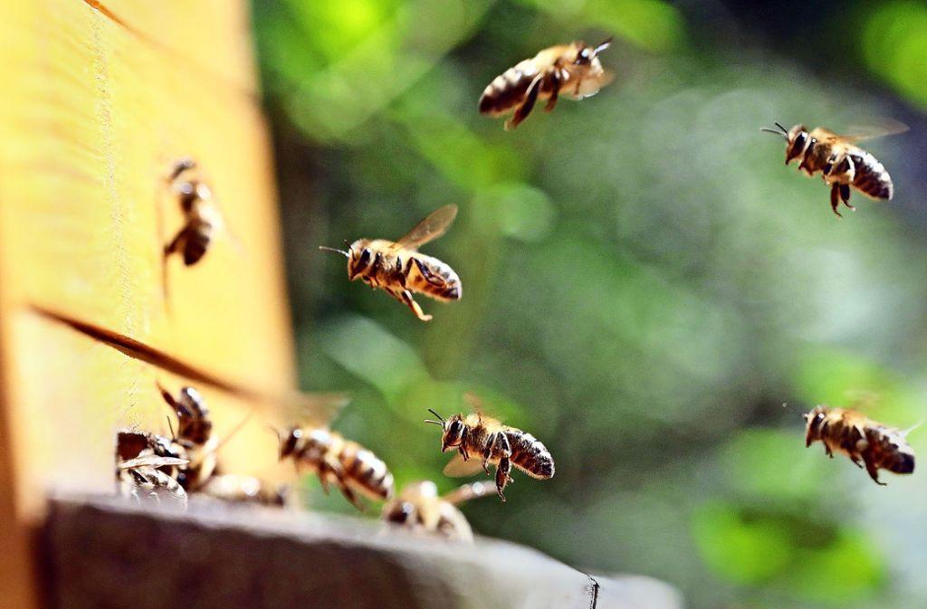 Im Anflug: Bienen kehren in ihre Beute zurück. Foto: :  dpa