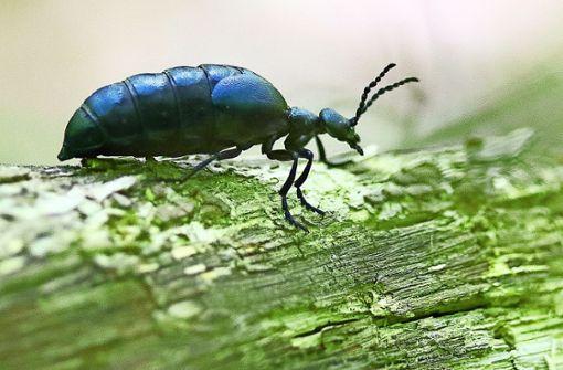 Der Maiwurm ist ein Käfer mit Gift an Bord