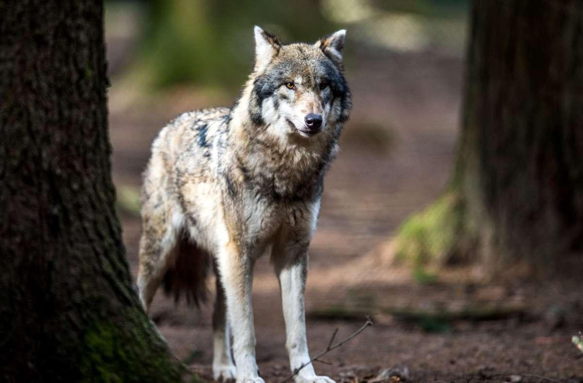 Dieser Wolf lebt zwar in einem bayrischen Wildpark. Doch in der freien Wildbahn nimmt die Population der Tiere stetig zu. Foto: dpa/Alexander Heinl