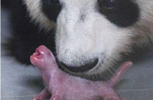 Erstes natürlich gezeugte Pandabär-Baby geboren