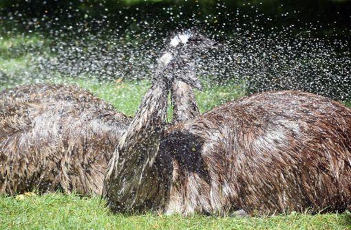 Mann fährt mit Absicht über Emus