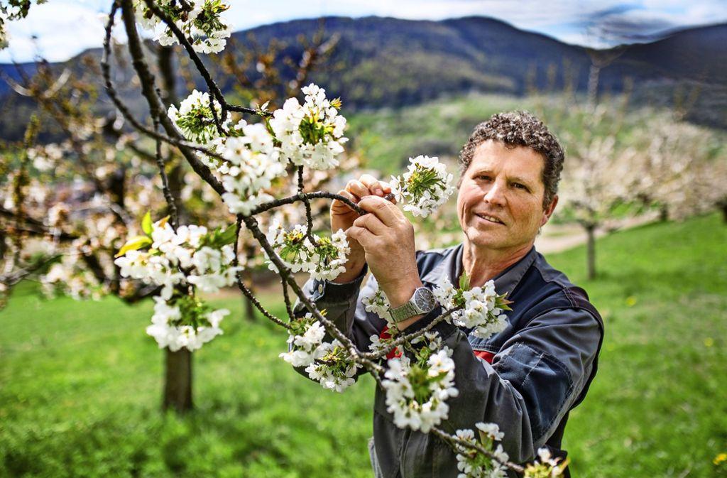 Roland Kuch, der Vorsitzende des  Obst- und Gartenbauvereins, inspiziert droben im Neidlinger Kirschenmuttergarten den Stand der Blüten. Foto: Ines Rudel