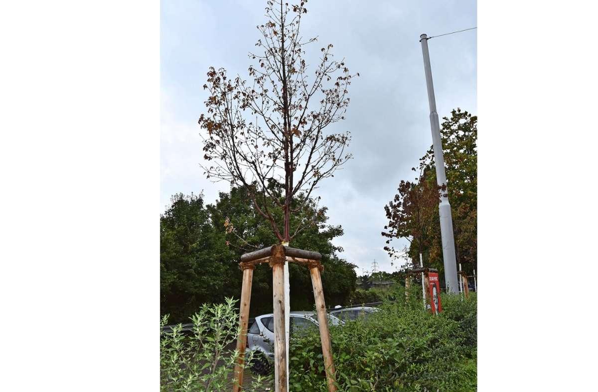 Die frisch gepflanzten  Ahornbäume sind schon krank. Foto: Mathias Kuhn