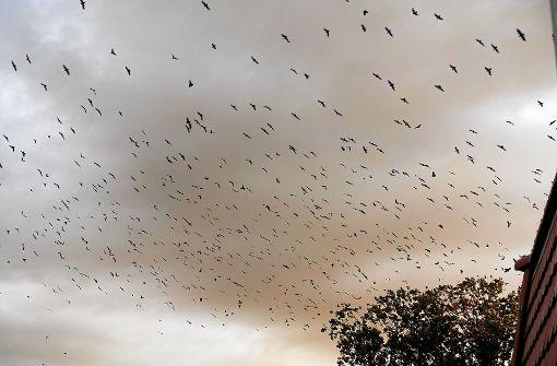 Der   Kampf  gegen die Krähen