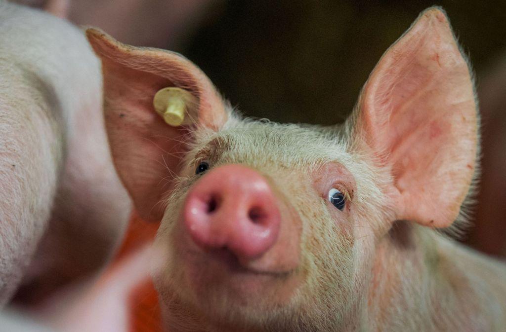 Die Todesursache der Schweine ist noch nicht geklärt. (Symbolbild) Foto: dpa