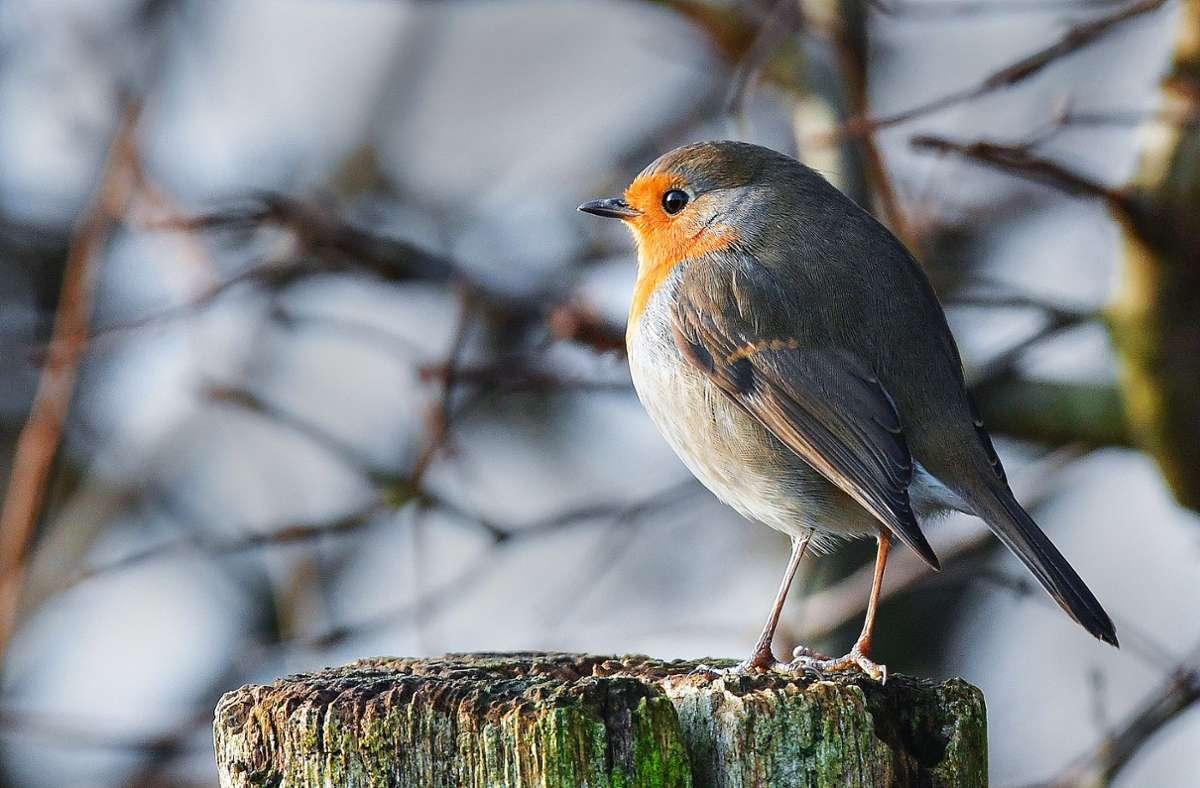 Das Rotkehlchen lässt sich  in diesem Winter oft beobachten. Foto: dpa/Patrick Pleul