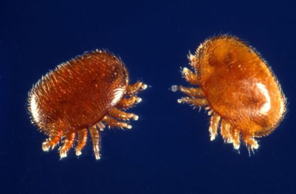 1,1 Millimeter lang und 1,6 Millimeter: Die Gefährlichkeit der Varroa-Milbe für die Existenz der Honigbienen steht im krassen Gegensatz zu ihrer Größe. Foto: Scott Bauer