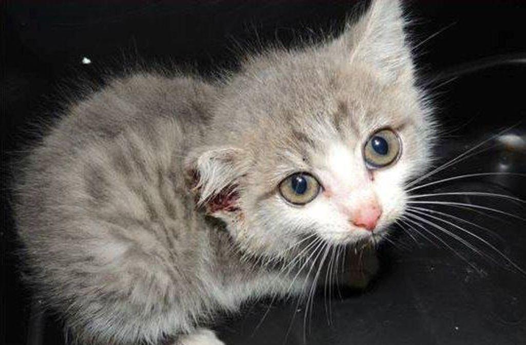 Das circa vier Wochen alte Katzenbaby hat einen Schnitt am Ohr. Foto: Tierheim/Stuttgart