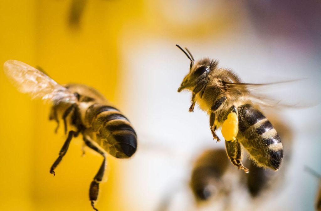Jedes Bienenvolk hat eine Art von gemeinsamen Verstand. Bienenforscher sprechen von Schwarmintelligenz. Das bedeutet: Die einzelne Bienen wäre ohne die Gemeinschaft, die sie schützt, ernährt und die sich fortpflanzt, nicht überlebensfähig. Foto: dpa