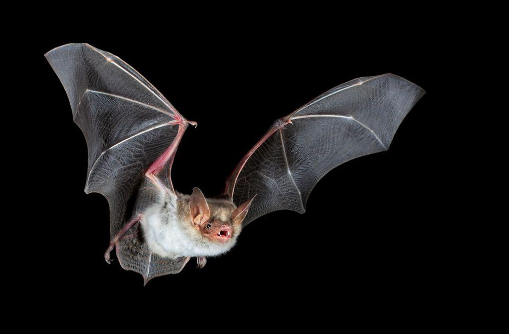 Nachtaktiv und bedroht: Fledermäuse Foto: picture alliance/dpa