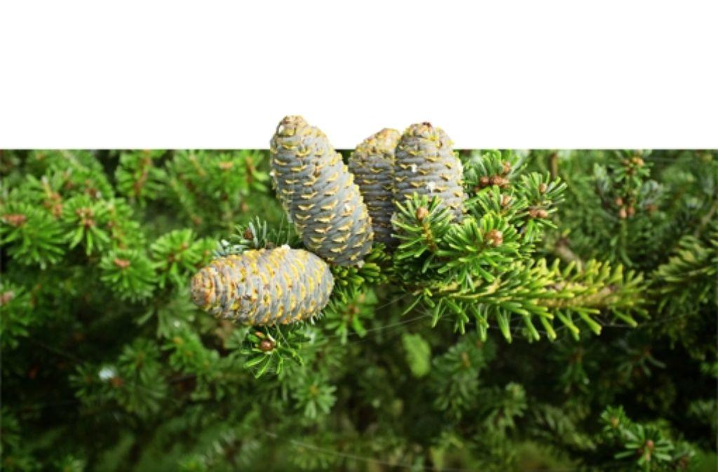 Zapfen der Weißtanne sieht man am Boden selten. Sie zerbröseln an den Ästen. Foto: www.mauritius-images.com