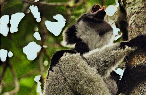Noch erschallt der Ruf des Indri