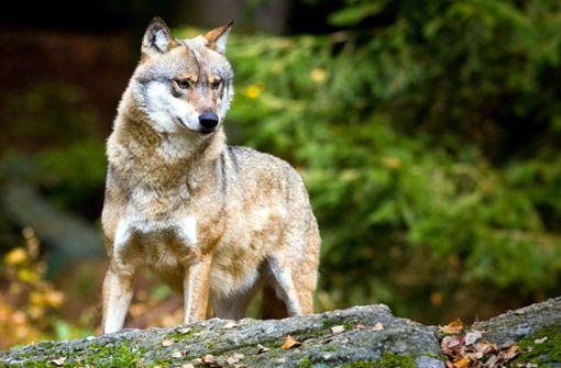 Immer neue Wölfe und Luchse wandern ein