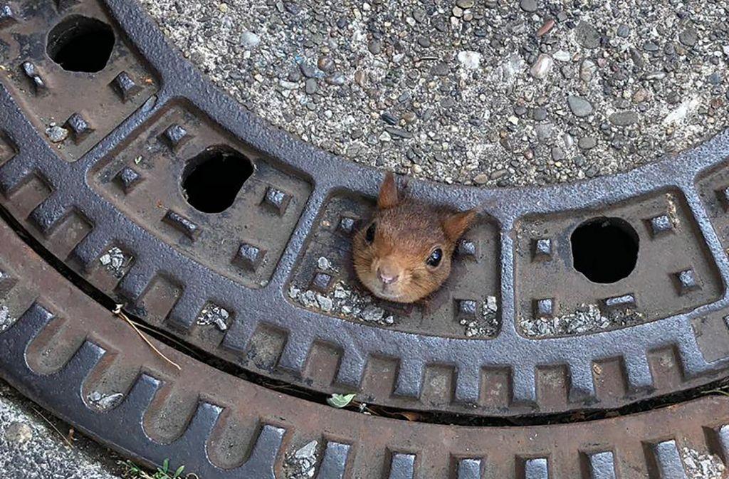 In Dortmund ist ein Eichhörnchen mit dem Kopf in einem Gullydeckel hängengeblieben. Foto: dpa/Feuerwehr Dortmund