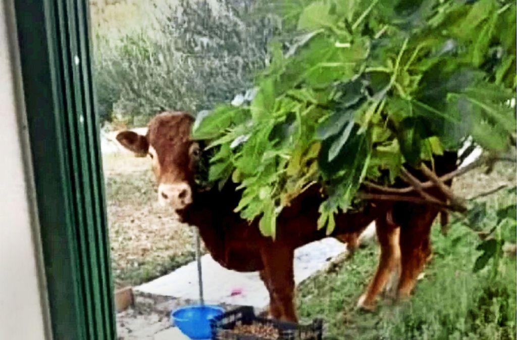 Ein Online-Foto zeigt angeblich den flüchtigen Stier Jerry. Foto: Screenshot 24sata.hr