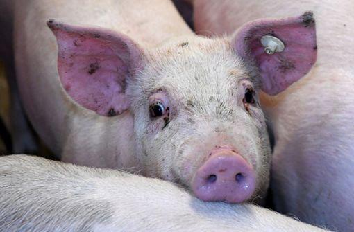 Prozess gegen Schweinezüchter neu aufgerollt