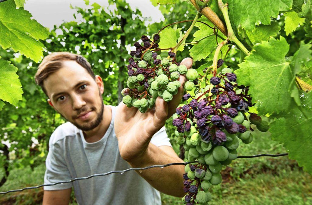 Max Kusterer vom Esslinger Weingut Kusterer zeigt es: Die Trollingertrauben sind entweder total ausgetrocknet, oder aber saft- und kraftlos. Foto: Horst Rudel