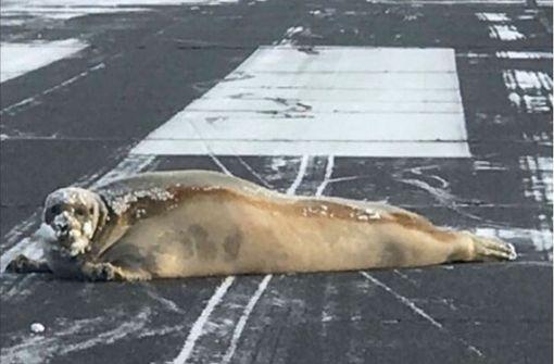 200-Kilo-Seehund fläzt auf Startbahn