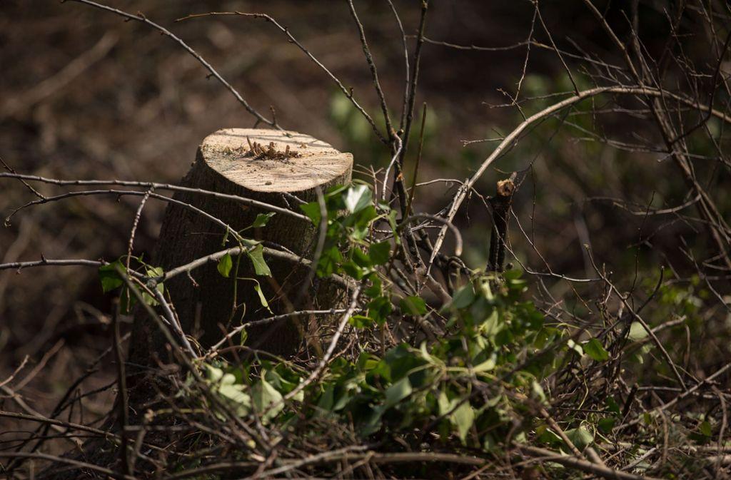 Für diesen Baum kommt der Fällungsstopp am Killesberg zu spät. Foto: Lichtgut/Leif Piechowski