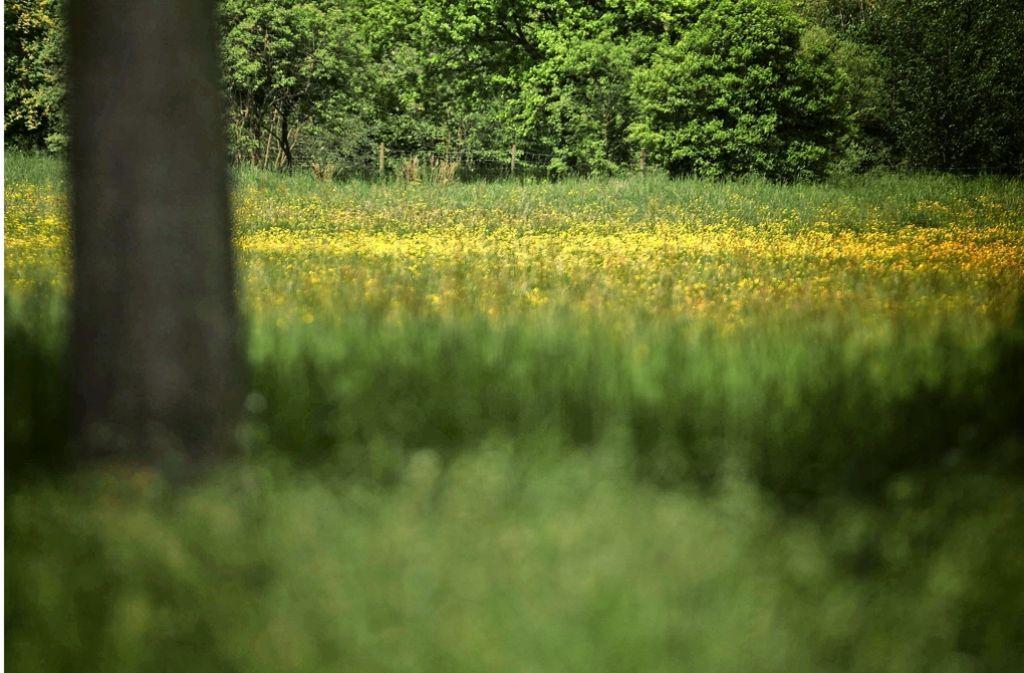 Wo derzeit noch Wiese ist, sollen bald knapp 300 Bäume Foto: Stoppel
