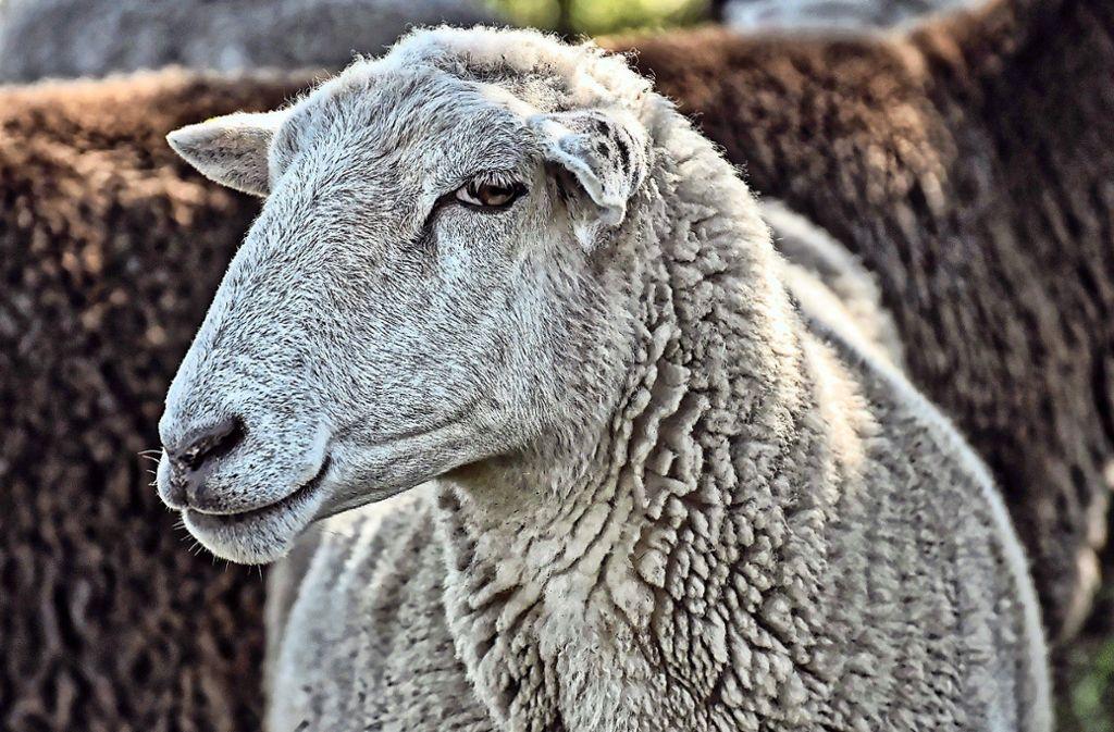 Ein Schaf wurde geschächtet, eines vermutlich gestohlen. Foto: Pixabay