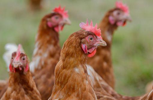 Ministerium: Hohes Risiko für Vogelgrippe im Südwesten