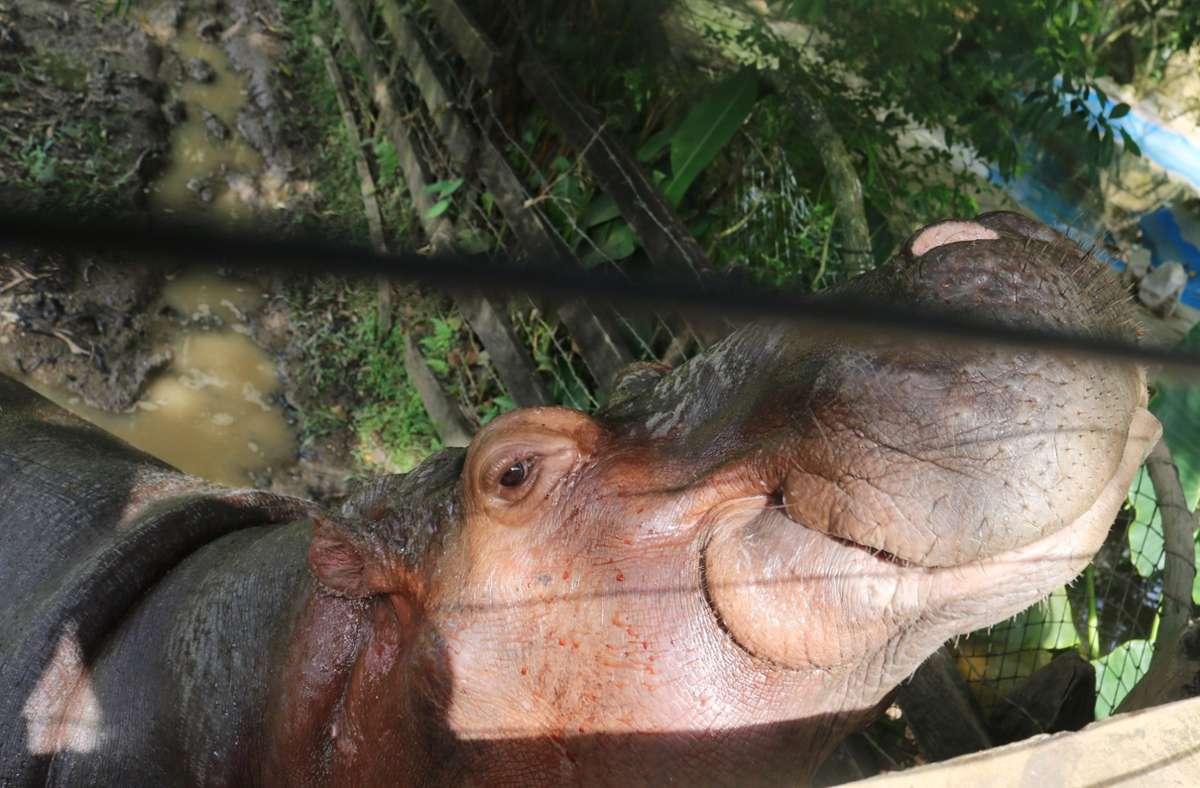 Nilpferd Vanessa sitzt in einem gesonderten Teich auf der Hacienda Napoles, das Tier wurde von der Herde verstoßen. Die Hacienda gehörte einst dem kolumbianischen Drogenboss Pablo Escobar, der vier afrikanische Flusspferde mitbrachte. Mittlerweile streifen rund 100 Nachkommen durch die Region. Foto: Sinikka Tarvainen/dpa