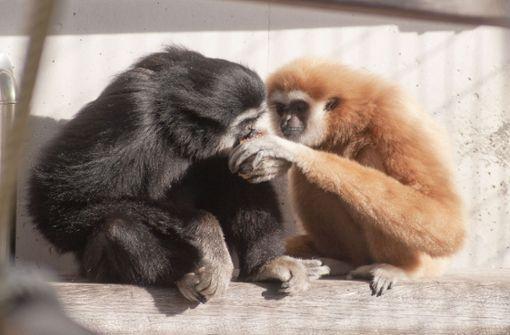 Neuer Partner fürs Gibbonweibchen