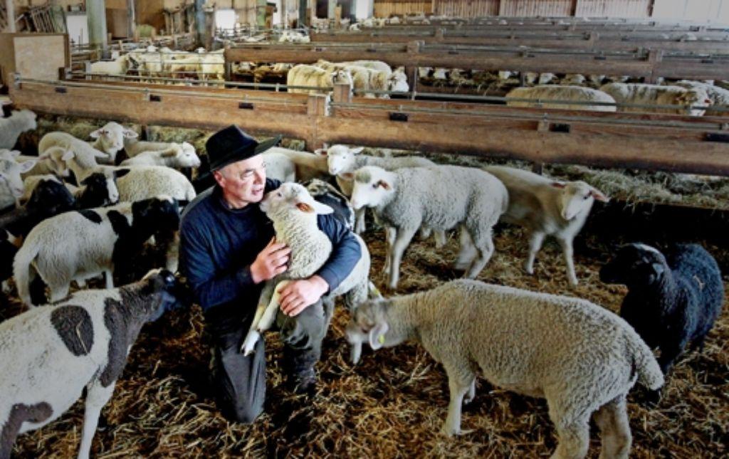 Von der    Schäfer-Romantik ist nicht viel übrig geblieben: Herbert Schaible kümmert sich so  oft es geht  um die Tiere im Stall, verbringt aber immer mehr Zeit im Büro. Foto: factum/Granville