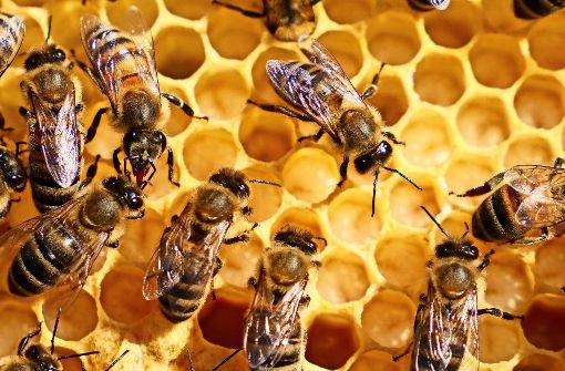Bienen kommunizieren untereinander, indem sie mit ihrem Hinterteil schwänzeln. Foto: factum/Granville