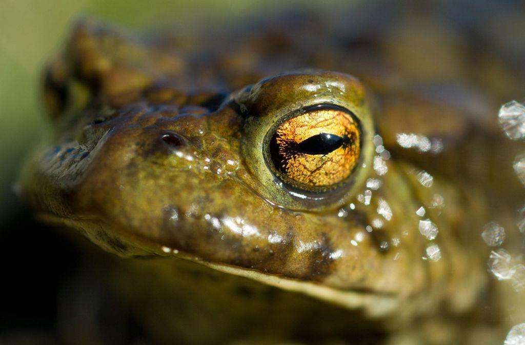 Die Lebensräume für Kröten und andere Amphibien schwinden. Foto: dpa/Patrick Pleul