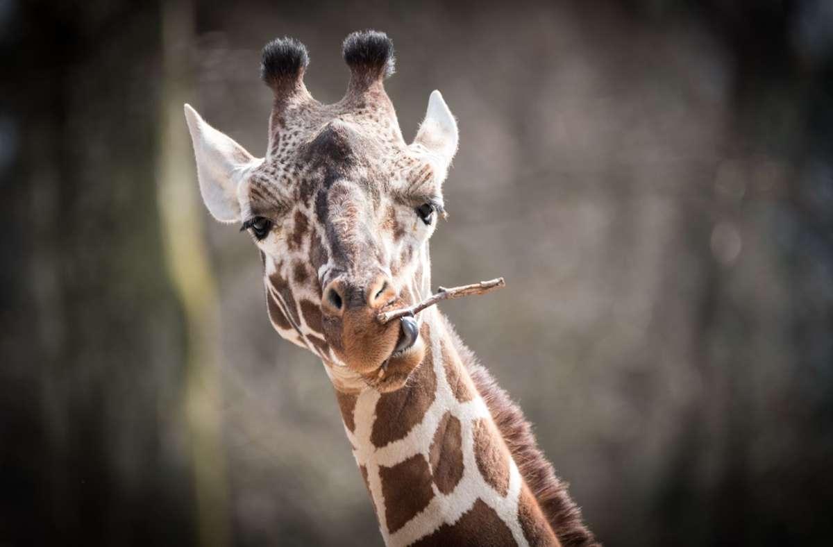 Giraffen fressen ausschließlich Blattfutter. Foto: Lichtgut/Achim Zweygarth
