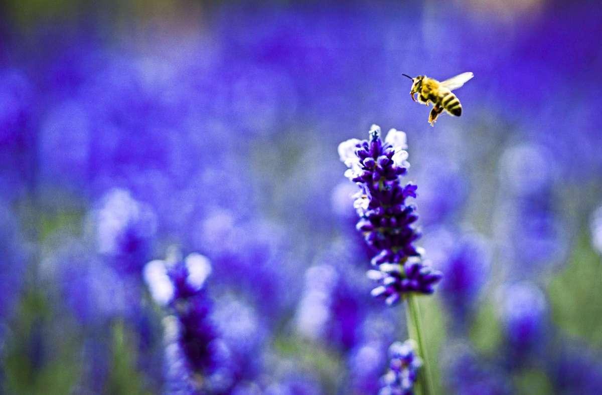 Ein Garten ist nicht nur für die Gesundheit von uns Menschen gut. Auch für Bienen und andere  Insekten ist er überlebenswichtig. Foto: picture alliance/dpa/Frank Rumpenhorst