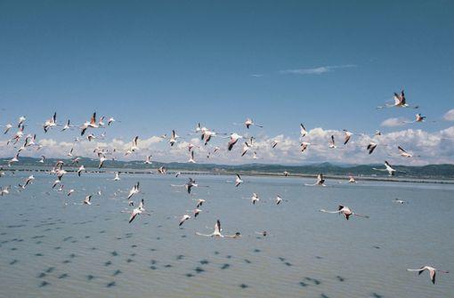 Flamingos tummeln sich in Lagune